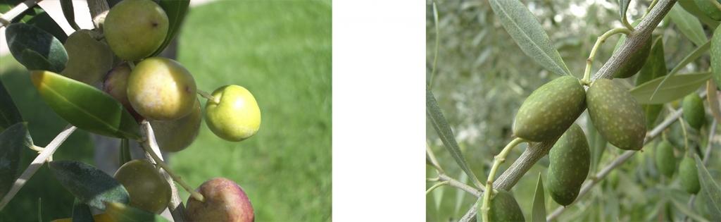 oliva-arbequina-y-Picual