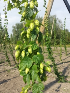 fresh-hops-1145694_1280