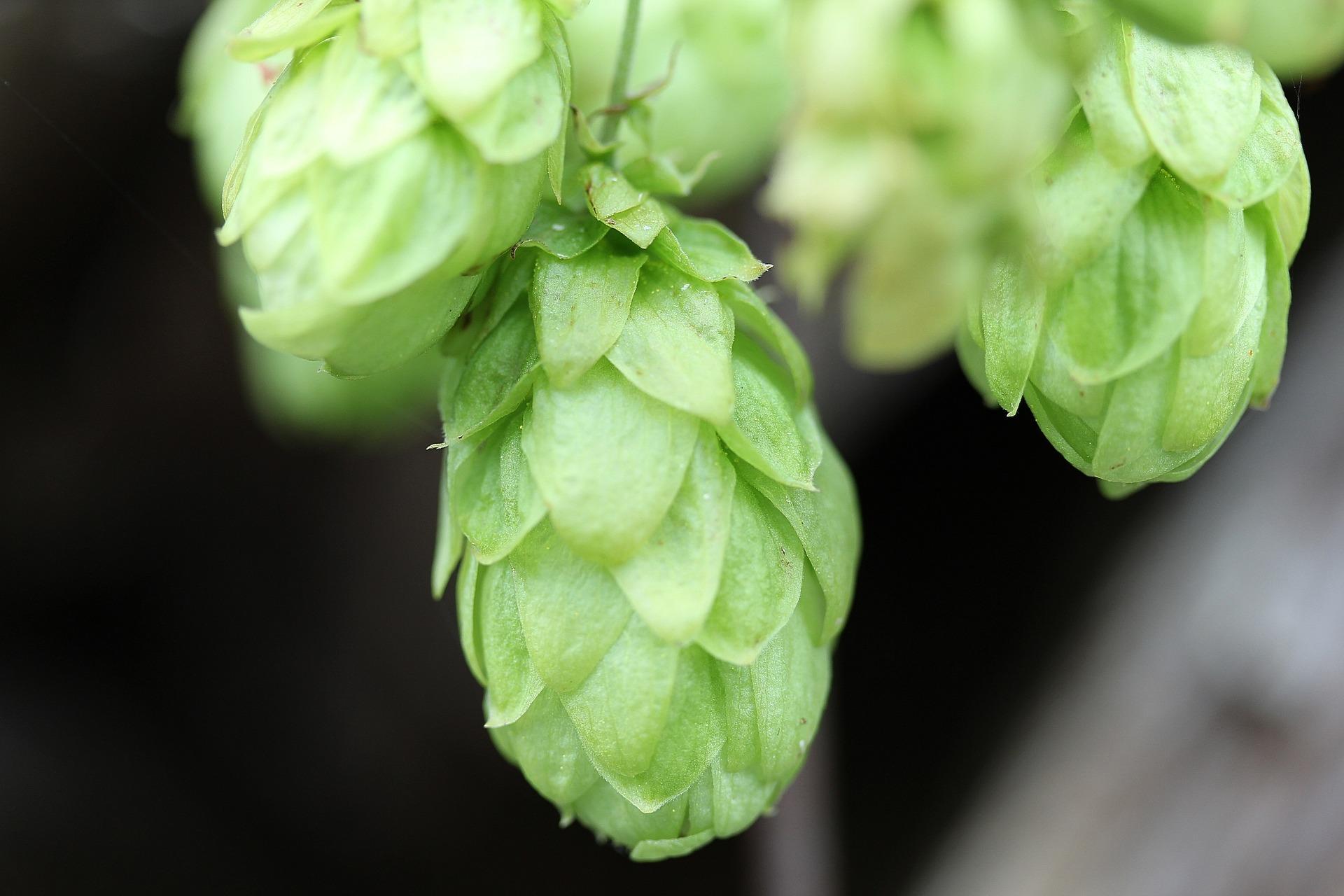 El lúpulo y la elaboración de la cerveza